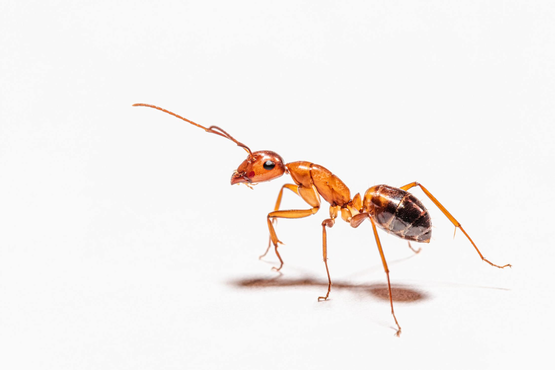 Das Verhältnis der Querschnittsfläche der Muskeln zum Volumen der Ameise, macht diese stark.