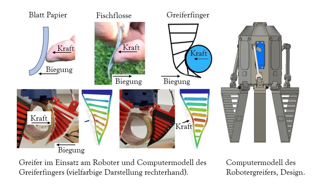 Bionik für Robotergreifer: Die Grafik veranschaulicht, wie Knochenfische Robotergreifer inspirieren.